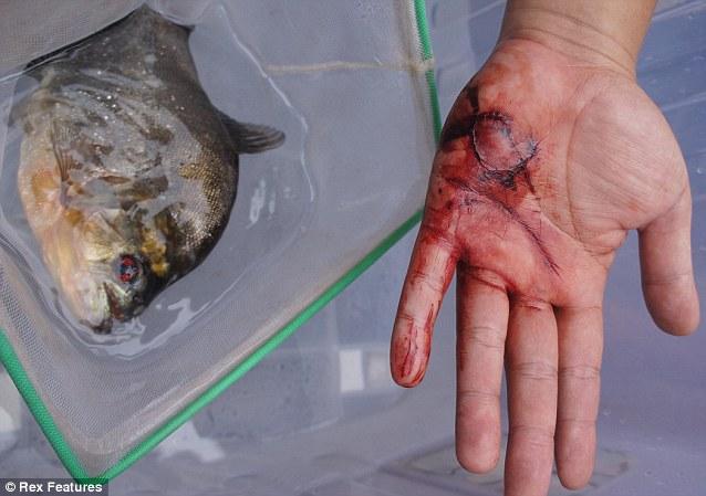 Piranha fish attack victims