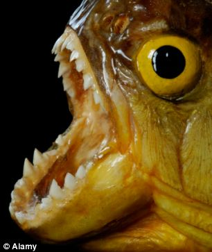 Piranha fish attack human